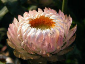 菊高嶺の花