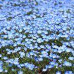 おらが県ランキング|花の絶景都道府県ベスト3は?ダイナンイ!?2019結果